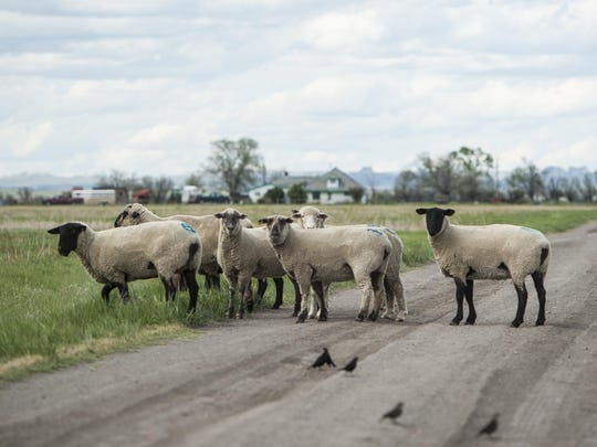Sheep lazily walk over a driveway outside Alzada. Sheep were once the primary industry, but now most ranchers fill their land with cattle.