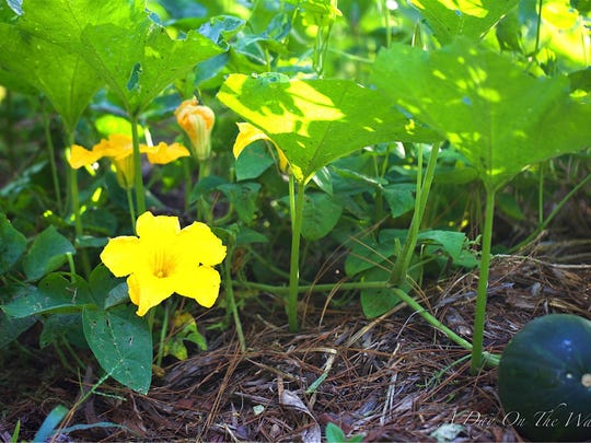 Edible landscaping uses hearty varieties of food crops adapted to local growing conditions, such as this Seminole pumpkin plant.