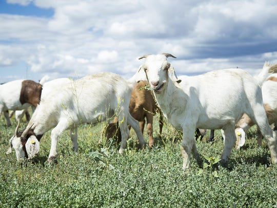 Malmstrom Air Force Base officials are considering using goats for weed control. A herd of 172 Boer Spanish Cross goats were on base for a 3-day demonstration