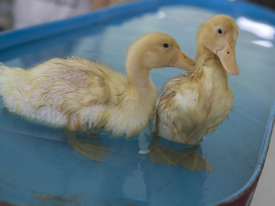 A couple of lucky Peking ducks get a swim in the poultry tent. The Morris County 4-H Fair is a chance to showcase and celebrate the many achievements of Morris County 4-H members. This wholesome family event includes live music, food, rides, science exhibits, club activities, hay rides, and plenty of animals, including bunnies, goats, chickens, horses and pigs. The event is held through Sunday at Chubb Park, Chester, NJ. Saturday, July 23, 2016.