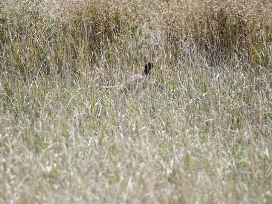 A male pheasant hides near the edge of tall grass at Benton Lake National Wildlife Refuge. Upland bird hunting could improve this year because three units traditionally filled with water are dry this year.