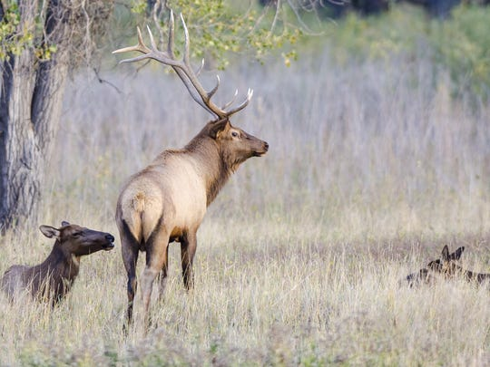 A bull elk stands with his harem at the Slippery Ann Elk Viewing Area in the Charles M. Russell National Wildlife Refuge.