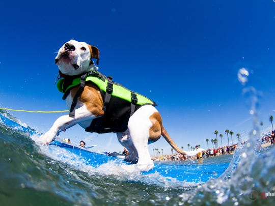 Head to Dog Beach in Huntington to watch furry shredders shoot the curl in tandem with their two-legged owners.