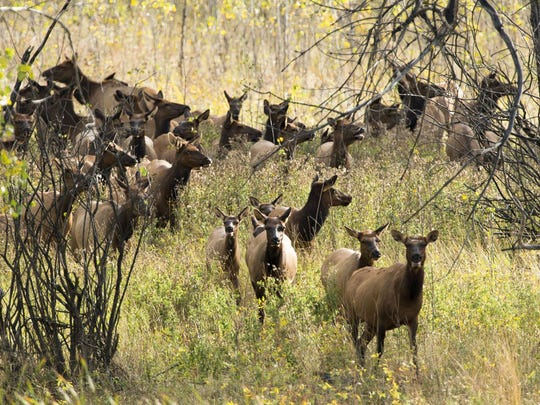 Cow Elk emerge from cottonwoods along the Missouri River at Slippery Ann Elk viewing area in the Charles M. Russell National Wildlife Refuge near Lewistown.