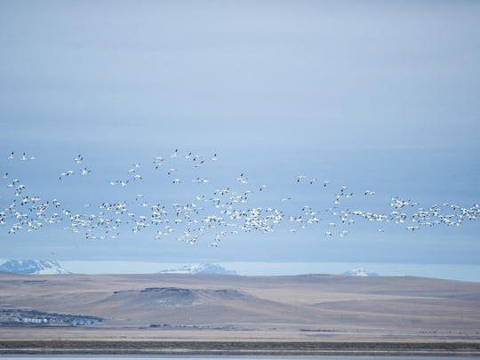 Snow geese fly to the fields from Freezeout Lake Tuesday morning.
