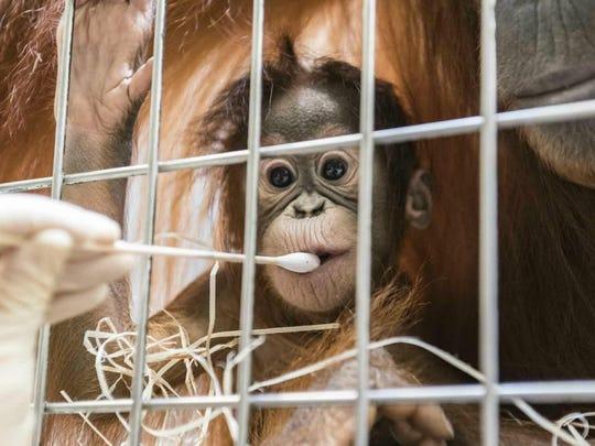 Zoo keepers take DNA samples from female orangutan cub Padma.