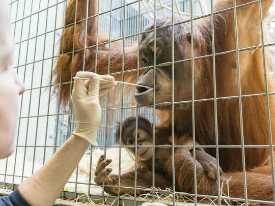 Zoo keepers take DNA samples from female orangutan Maya at the Basel Zoo.