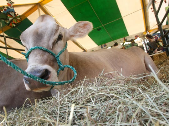 A cow lies in hay in the dairy tent during day two of the Somerset County 4-H fair, Thursday, August 7, 2014, in Bridgewater, NJ. Photo by Jason Towlen