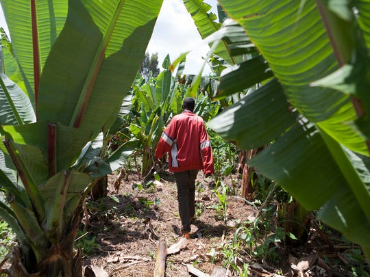 Ethiopian farmer Abdesemed Mohe, 36, walks through his field. Mohe increased his corn yield by more than 50 percent through a program that Iowa-based seed producer DuPont helped sponsor.