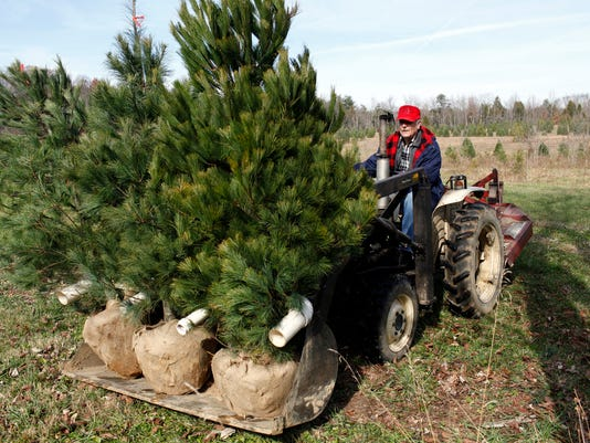 Cut your own Christmas tree 2014