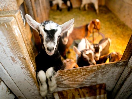 MNH Goat Farm 03.JPG