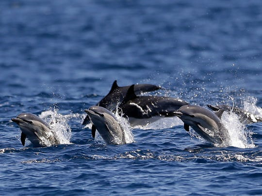Dolphins race alongside the yacht America during a whale watching trip off the coast of San Diego.