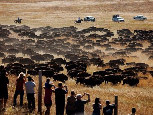 Bison roundup.jpg