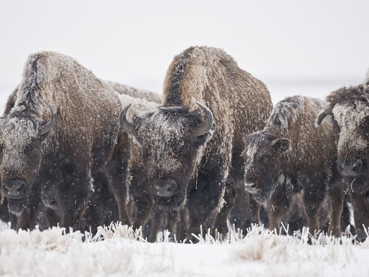 Bison Roam in Snow Storm