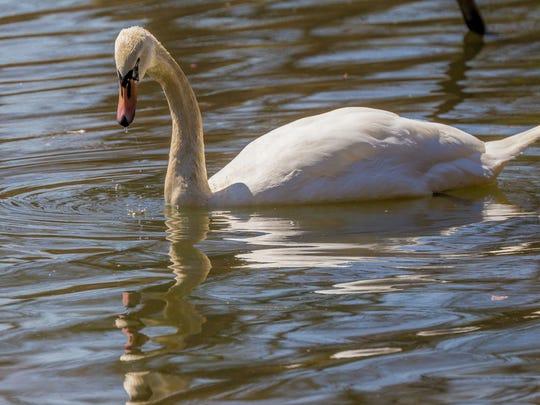 041014-Swan.rc0211.JPG