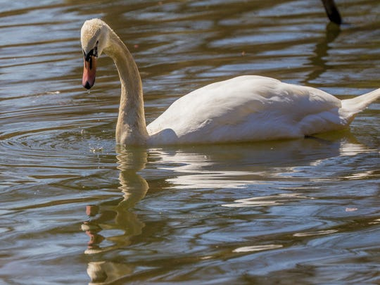 One of two swans purchased by the county was killed by a dog at Carousel Park, where dogs were once free to swim in the pond.