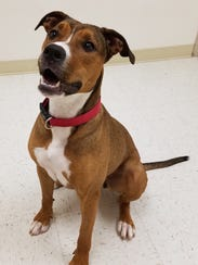 Lucy is a 1-year-old boxer mix who is a super happy
