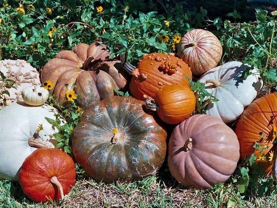 Decorative and heirloom pumpkins