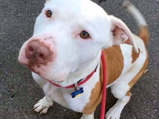 Vinnie Rome is a young American Pit Bull Terrier mix