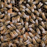 Authorities say a man visiting from Louisiana has died after being stung by bees more than 1,000 times while hiking in a Mesa park.