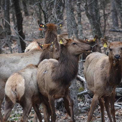 Elk have made their journey from Kentucky to Wisconsin