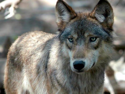 Wolf hunt.jpg