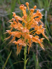 Yellow fringed orchid It blooms late in the summer