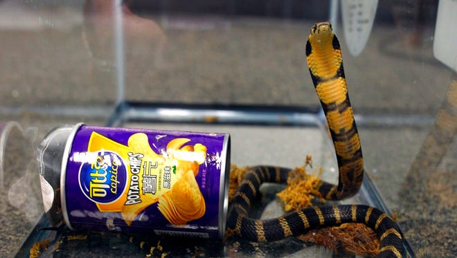 This undated photo provided by U.S. Fish and Wildlife shows a king cobra snake that was hidden in a potato chip  found in the mail in Los Angeles. Rodrigo Franco was sentenced to five months in federal prison on Monday, Jan. 22, 2018, for smuggling three highly venomous king cobras hidden in potato chip canisters through the mail.