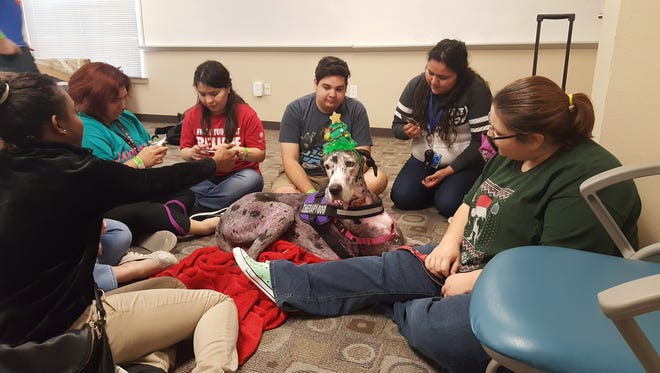 Ophelia, a 9-year-old Great Dane, is a Pet Partners certified therapy animal. During a recent trip to Texas A&M University-Kingsville, she was accompanied by her owner Kat Stotler (right).