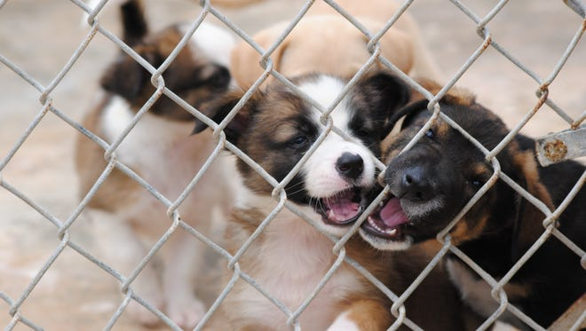 These puppies at the Guam Animals in Need animal shelter are all ready for a new home.