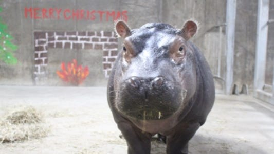 Fiona the hippo celebrates her first Christmas.