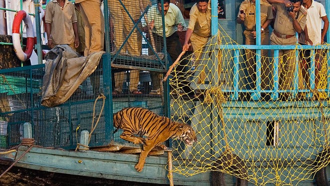 Game officials watch as a young female Royal Bengal tiger leaps into the water from a cage as it is released into the Sundarban Wildlife Reserve near Calcutta, in India's West Bengal state, April 28, 2010. The tiger was found straying by officials during a storm in recent days until it was released.