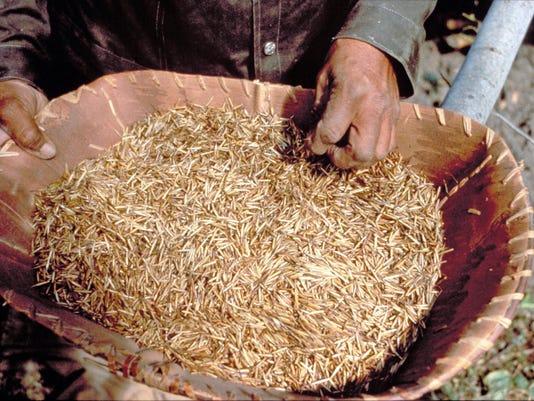 wild rice DNR