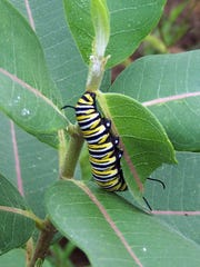 A monarch butterfly caterpillar feeds on a common milkweed plant. Milkweeds are the only plants that monarch butterflies will lay their eggs on and that monarch caterpillars will eat, so they are critical for sustaining monarch populations.