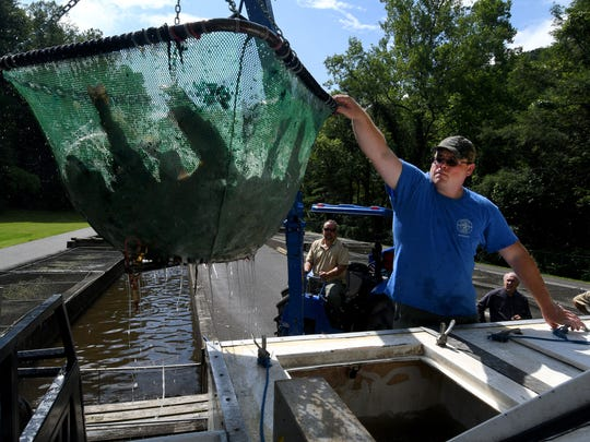 Wilson Tanksley reaches to guide a basket of trout into their delivery truck at the Tellico Fish Hatchery in Tellico Plains on Thursday, July 6, 2017.