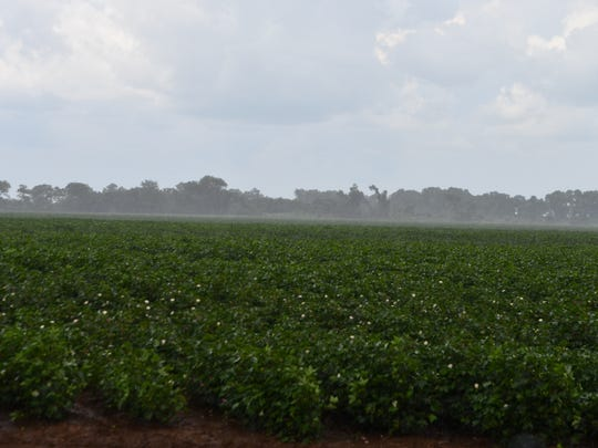 Cotton fields in the Brazos Valley have received seasonable