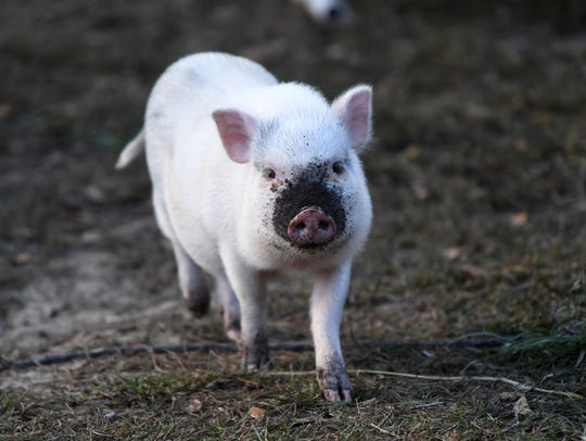 In a Nov. 20, 2017 photo, Templeton the pig roams at