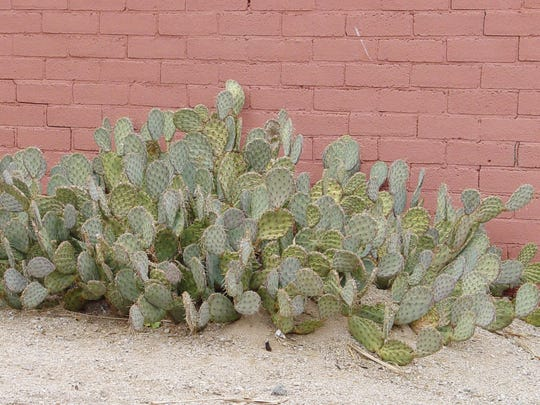 This prickly pear is normal on the left, but mounding is easily seen on the right half.