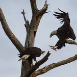 M15 the bald eagle comes in for a landing next to Harriet the famous bald eagle on a dead tree near the North Fort Myers nest on Wednesday.   The two were seen mating seconds later. Southwest Florida Eagle Cam watchers are waiting for the possibility that Harriet will be laying eggs.  M15 has replaced Ozzie as Harriet's next mate.  Ozzie died after complications from fighting with another male eagle.
