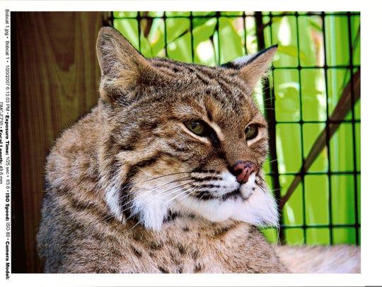 A Busch Wildlife Sanctuary bobcat strikes a pose.