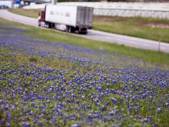 Bluebonnets line the highways around Calallen on Monday,