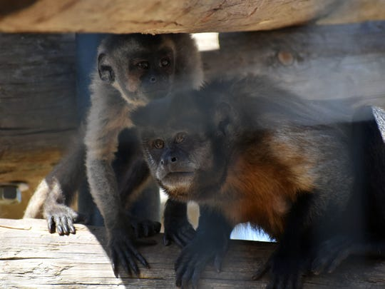 A baby and adult Capuchin monkeys shade themselves in their enclosure during Earth Day festivities.