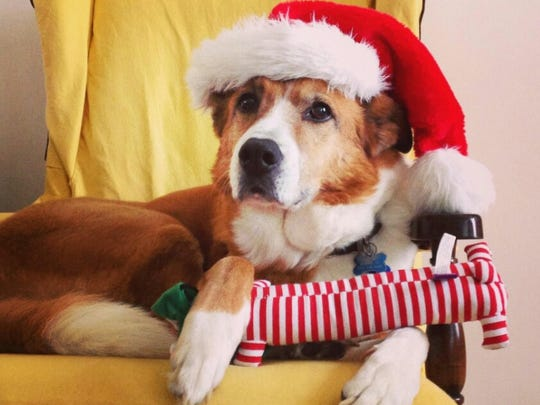 Our Collie mix Dottie graced our family Christmas card in 2013.