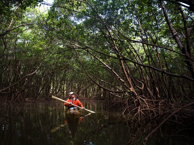 Mike Devlin kayaks through a section of mangroves called