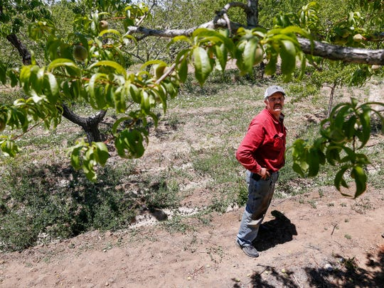 Leslie Kerby, manager and operator of Kerby Orchard looks over one of his peach trees Tuesday at his orchard in Farmington.