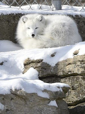 An arctic fox suns itself on a ledge inside its pen at Bruemmer Park Zoo. The ZoupArt benefit helps finance improvements at the zoo.