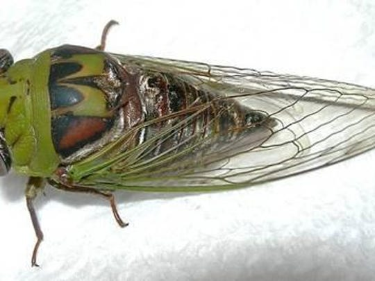 Annual cicadas are typically green and have black bulging eyes.