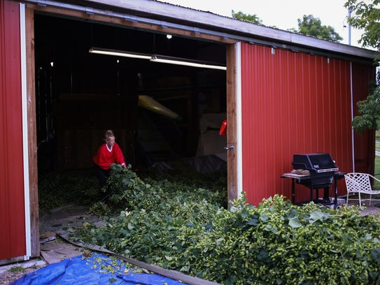 Mel Trowbridge pulls vines of cascade hops brought