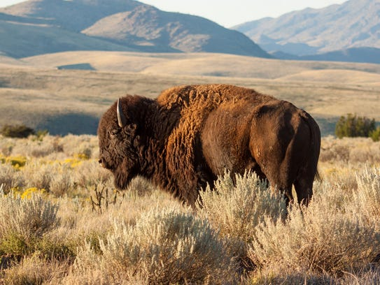 This majestic bison grazing at the Ladder Ranch is
