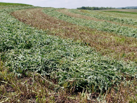 Neglecting to apply lime is a major reason for having drops in the soil pH from the ideal 6.8 to 7.0 for growing alfalfa. As a result, with a soil ph below 5, alfalfa dies.